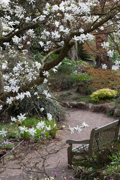 Magnolia x Loebneri 'Messel'