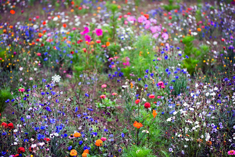 FRENCH WILDFLOWER MEADOW, AUGUST
