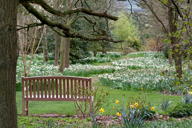Swathes of daffodils at Dorothy Clive Garden