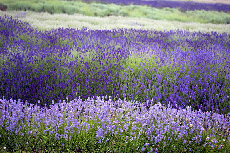 Snowshill Lavender Farm in June
