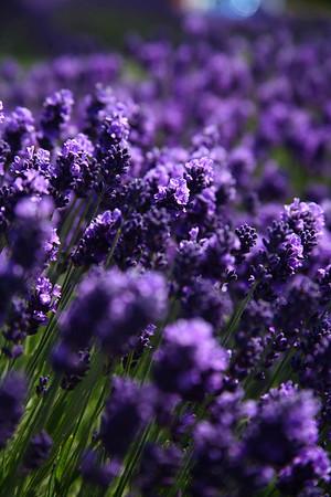 Lavender2008
