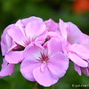 March 28, 2015<br /> <br /> PETUNIAS<br /> <br /> Margaret's Garden, Gifts, and Florist<br /> Belzoni, MS