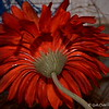 March 28, 2015<br /> <br /> GERBERA DAISY<br /> <br /> Margaret's Garden, Gifts, and Florist<br /> Belzoni, MS
