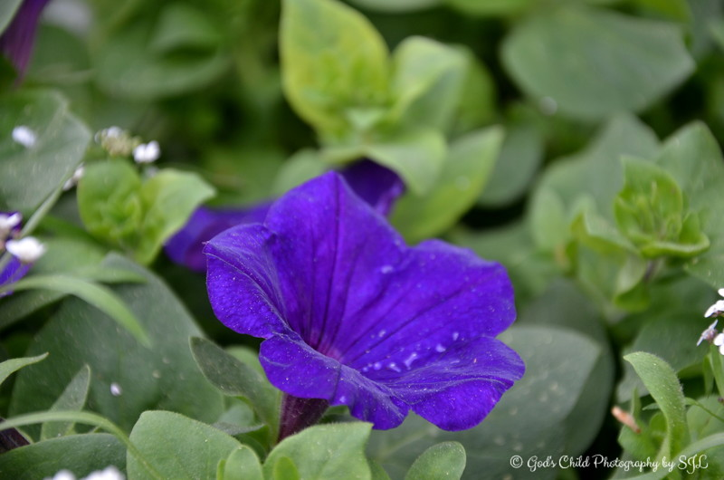 March 28, 2015<br /> <br /> PURPLE PETUNIA<br /> <br /> Margaret's Garden, Gifts, and Florist<br /> Belzoni, MS