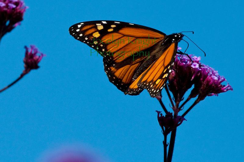 Monarch0369(8x12)