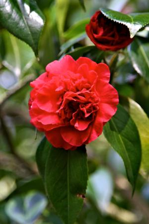 April 1 Red Camellia in bloom