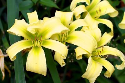 "My garden today, July 22 2012-HEMEROCALLIS ""GREEN WIDOW"""