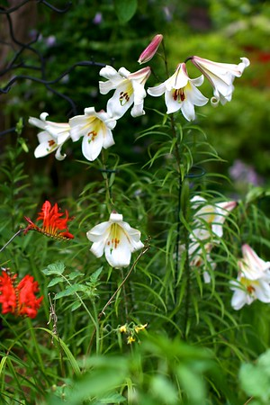 My garden today, July 22 2012-MORE TRUMPET LILIES OPENING TODAY