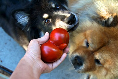 2012 HEIRLOOM TOMATO HARVEST Even the dogs are amazed at this beauty