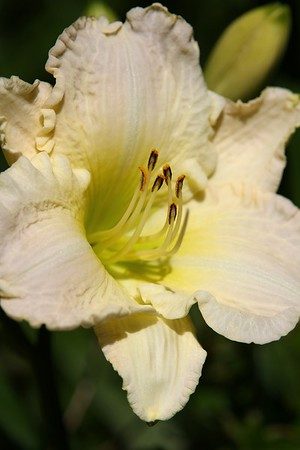 """The garden today on July 7, 2012 Hemerocallis """"Vanilla Ice"""".......what a descriptive name for this one with the chartreuse throat. Fragrant"""