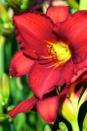 The garden today on July 7, 2012 Breeders daylily (no name) the rich red and washy orange changes color all day long.  Very unique with that deep ruffled edge which becomes more pronounced throughout the day as well