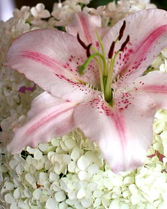 "My garden today, July 22 2012-AN ORIENTAL LILY AND HYDRANGEA ""ANNABELLE"""