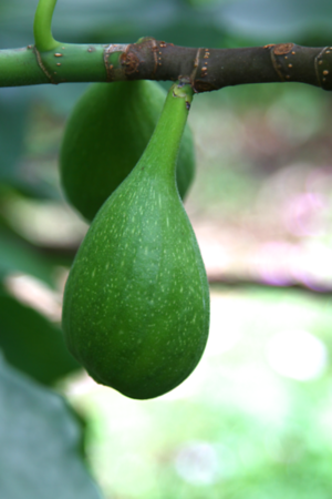 We are going to have some incredible figs this year