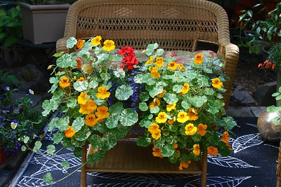 My nasturtiums have gone insane!!