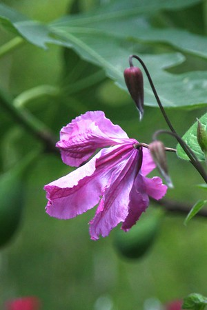 I love the shape of my alpine clematis blooms