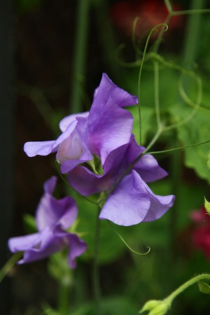 The Sweetpeas are starting to bloom