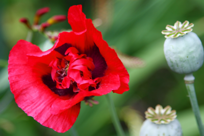 The poppies are starting to bloom this week