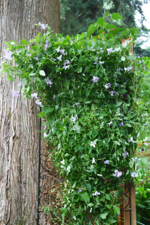 Another alpine clematis gets a new trellis today