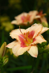 "I love all my daylilies this time of year. This one has an incredible scent.  Hemerocallis ""Strawberry Candy"""