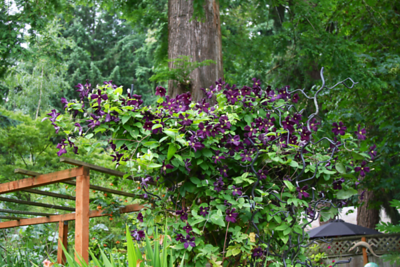 "Clematis ""Romantika""...very dark purple"