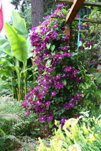 My most prolific clematis in full swing today.  The arbor is 10 feet high to give you an idea of scale. Those are banana trees in the background