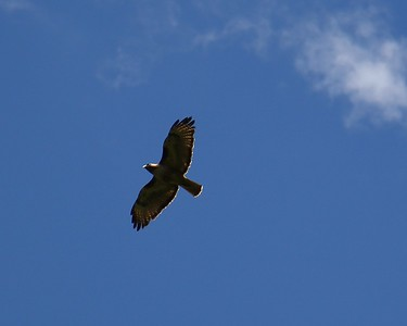 One of the redtail hawk parents heading out to get some food for the babies