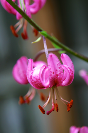 Species lily closeup