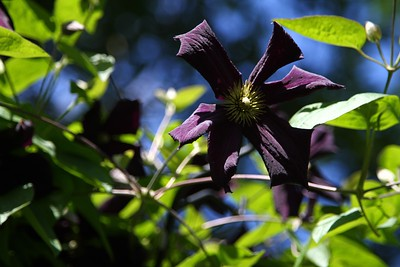 "Dark blooms on Clematis ""Romantika"""
