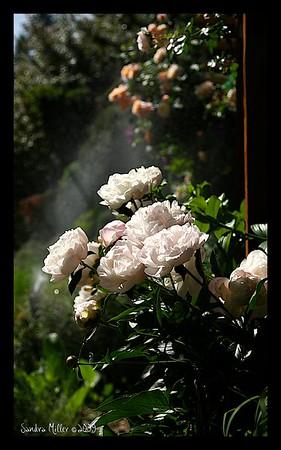 Peony in the garden