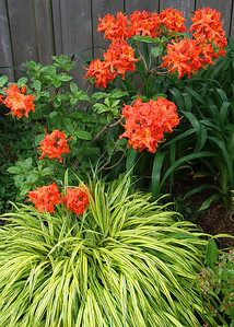 The star of the garden right now..my orange azalea with Japanese Hakune grass