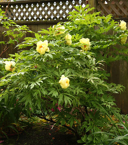 Tree Peony from Tony Raposo