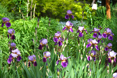 Old Fashioned Iris from Diana Hillygus and Mary Rose