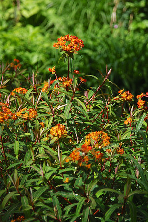 Euphorbia Lucifer