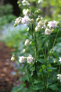 The naturalized columbine