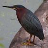 Green Heron, NYBG, 4-24-12
