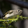 Ruby-crowned Kinglet,  NYBG 2013