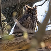Great Horned Owl, NYBG 2013