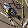 Yellow-Rumped Warbler, NYBG 2013