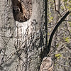 Great Horned Owlets (in and out), NYBG 2013