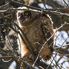 Great Horned Owlet, NYBG 2013