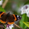 A Red Admiral warms itself in the February sunshine