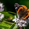 The first of the year.  A Red Admiral tastes the nectar
