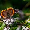Red Admiral having a feed