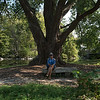 Huge Cottonwood Tree