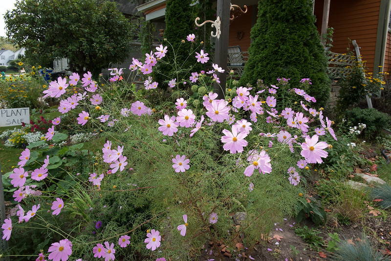 The lady's Cosmos plants