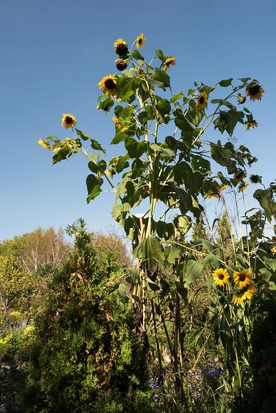 A Sentinel Sunflower