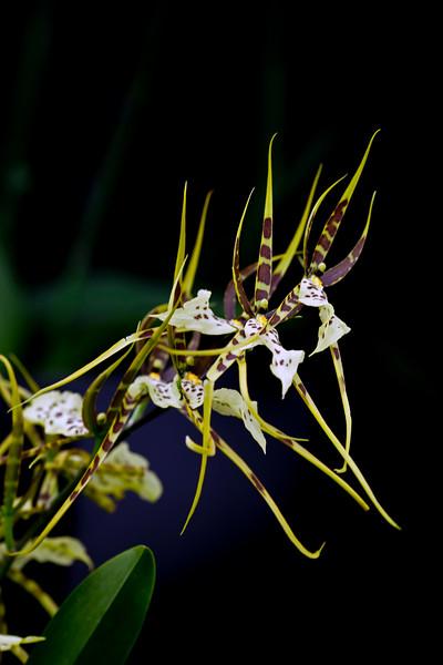 Brassia Caudata x Lanceana