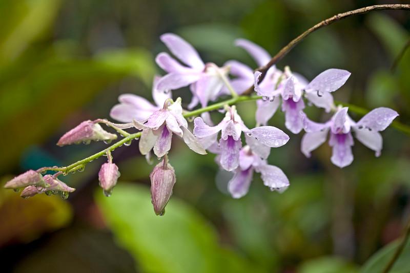 Dendrobium Burana Charming