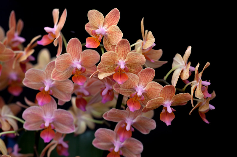 Phalaenopsis Star Orange 'Sunglow'