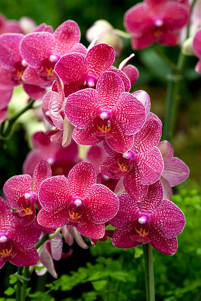 Doritaenopsis Taida Salu
